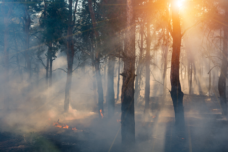 Photo for fire. wildfire at sunset, burning pine forest in the smoke and flames - Royalty Free Image