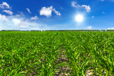Photo pour Corn field - image libre de droit