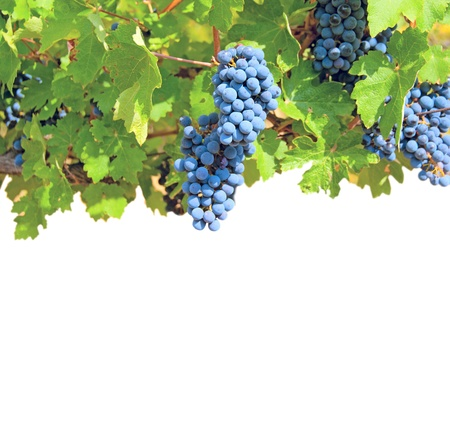 Ripe clusters of grapes among green leaves isolated on a white background