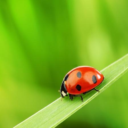 Photo pour ladybug on grass nature background - image libre de droit