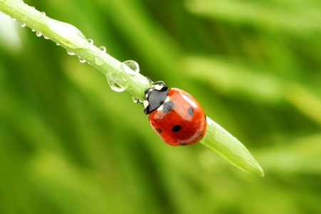 ladybug on grass in water drops