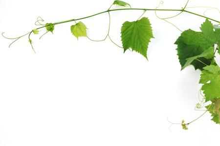 green wine leaves