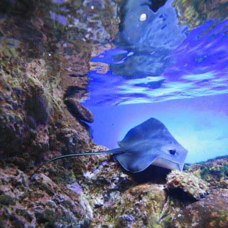 Photo pour Stingray swimming on tropical coral reef - image libre de droit