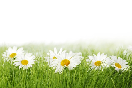 Photo pour Spring meadow with daisies in grass isolated on white background - image libre de droit