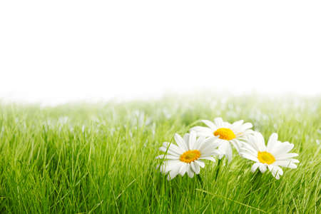 Photo pour White daisy flowers in green grass isolated on white background, copy space for text - image libre de droit