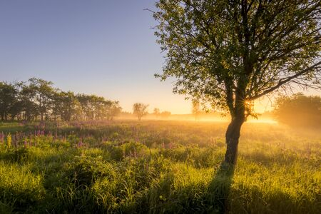 Sunrise on a field covered with flowering lupines in spring or early summer season with fog and trees on a foreground in morning. Landscape.