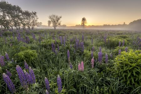 Twilight on a field covered with flowering lupines in spring or early summer season with fog and trees on a background in morning. Landscape.