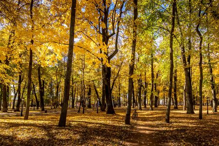 Photo pour Yellow leaf fall in the park in golden autumn. Landscape with maples and other trees on a sunny day. - image libre de droit