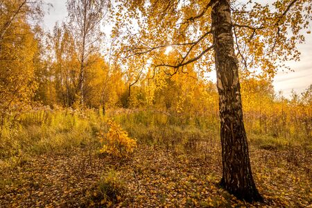 Foto de Yellow leaf fall in the birch forest in golden autumn on sunset. Landscape with trees on a sunny day and footpath. - Imagen libre de derechos