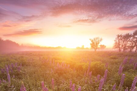 Foto für Twilight on a field covered with flowering lupines in spring or early summer season with fog, cloudy sky and trees on a background in morning. Landscape. - Lizenzfreies Bild