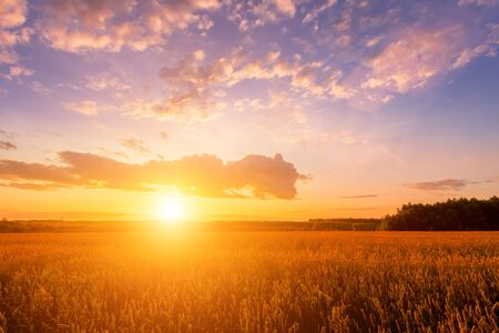 Photo pour Scene of sunset on the field with young rye or wheat in the summer with a cloudy sky background. Landscape. - image libre de droit