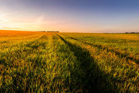 Photo pour Sunset or sunrise in an agricultural field with ears of young green wheat and a path through it on a sunny day. The rays of the sun pushing through the clouds. Landscape. - image libre de droit