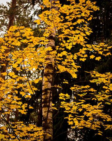 Photo pour Maple with golden leaves in the autumn pine forest. - image libre de droit