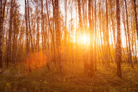 Photo for Sunset in an autumn birch grove with golden leaves and sunrays cutting through the trees on a sunny evening during the fall. - Royalty Free Image