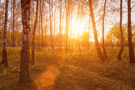 Photo pour Sunset in an autumn birch grove with golden leaves and sunrays cutting through the trees on a sunny evening during the fall. - image libre de droit