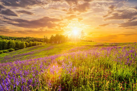 Photo pour Sunset on a hill covered with lupines in summer season with cloudy sky. Landscape. - image libre de droit