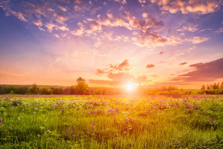 Foto de Sunset or sunrise on a field covered with flowering lupines in spring or early summer season with fog and cloudy sky. - Imagen libre de derechos