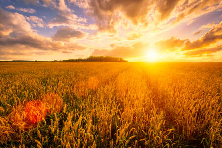 Photo pour Sunset on the field with young rye or wheat in the summer with a cloudy sky background. Landscape. - image libre de droit
