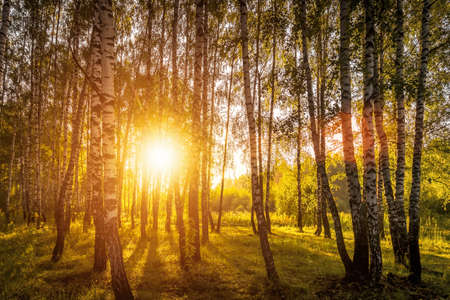 Photo pour A scene of sunrise in a birch forest on a sunny summer morning with fog. Landscape. - image libre de droit