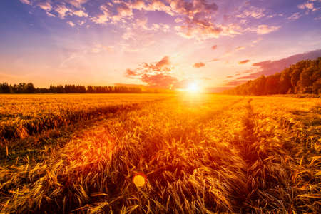 Photo pour Sunset or sunrise on a rye field with golden ears and a dramatic cloudy sky. - image libre de droit