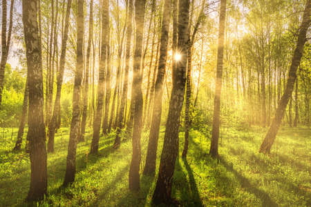 Photo for Sun rays cutting through birch trunks in a grove at sunset or sunrise in spring. - Royalty Free Image
