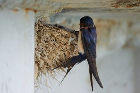 Foto de Nest of swallows. The swallows and martins, or Hirundinidae, are of the family of the passerine birds. - Imagen libre de derechos