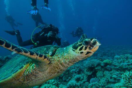Photo pour Hawksbill sea turtle in the Red Sea, dahab, blue lagoon sinai - image libre de droit