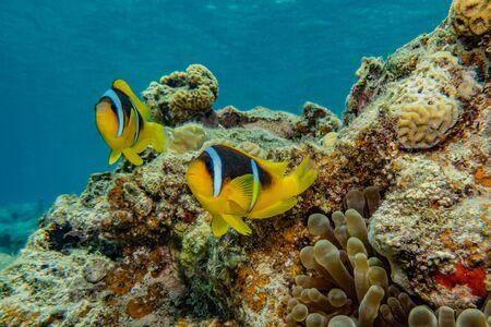 Photo pour Fish swim in the Red Sea, colorful fish, Eilat Israel - image libre de droit
