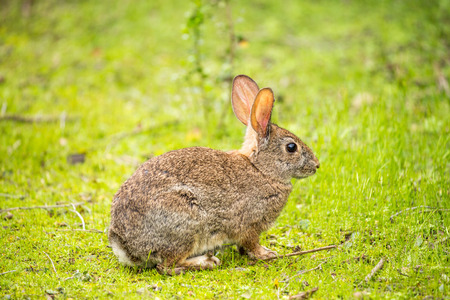 Alert Cottontail rabbit (Sylvilagus) sitting in a grassy field. Santa Clara County, California, USA.