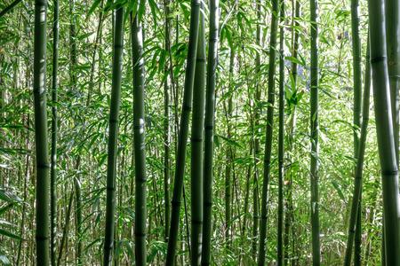 Photo pour Bamboo Trees in Japanese Tea Garden. San Francisco, California, USA. - image libre de droit