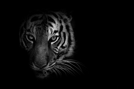 Black and white wildlife animal with low key background
