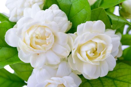 Jasmine flower background.