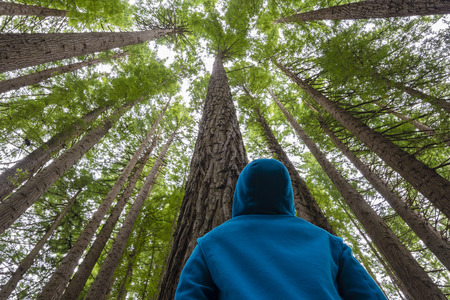 Man looking up in a redwood forest