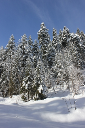 Beautiful winter scene in Chartreuse Massif, France, near cross country skiing center of Le Sappey en Chartreuse, snow over fir tree, blue sky.