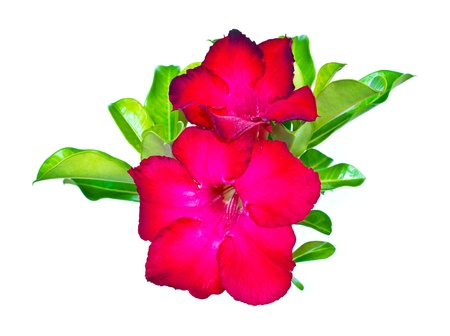 isolated adenium flower on white background