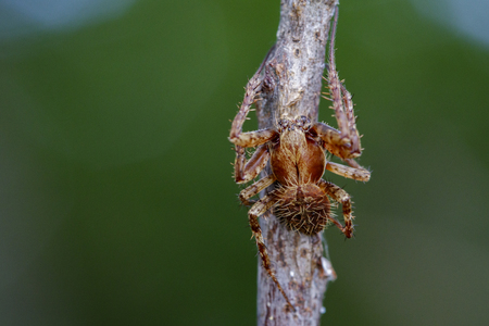 Image of Eriophora sp cf Novakiella or Orb-weaving Spider or Orb Weaver (Novakiella trituberculosa) on dry branches. Insect Animal