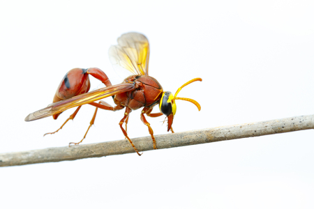 Image of potter wasp (Delta sp, Eumeninae) on dry branches on white background. Insect Animal