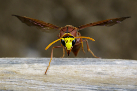 Image of potter wasp (Delta sp, Eumeninae) on dry timber. Insect Animal