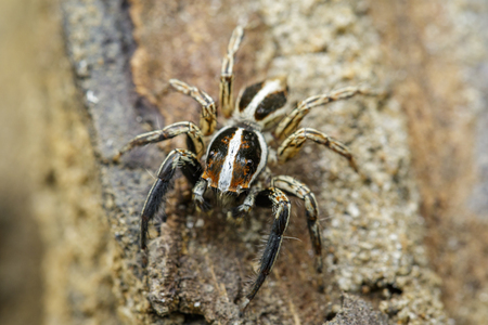 Image of Jumping spiders(Plexippus paykulli) on nature background. Insect. Animal