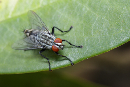 Photo pour Image of a flies (Diptera) on green leaves. Insect. Animal - image libre de droit