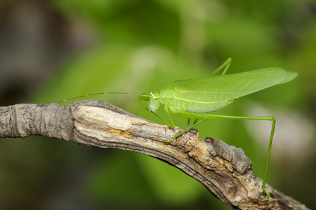 Photo pour Image of green bush-cricket long horned grasshopper on brown branch. Insect. Animal. - image libre de droit
