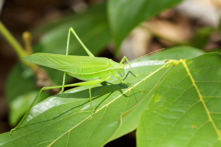 Photo pour Image of green bush-cricket long horned grasshopper on green leaf. Insect. Animal. - image libre de droit