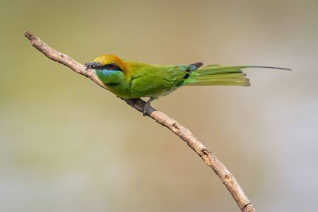 Photo pour Image of Green Bee-eater bird(Merops orientalis) on a tree branch on nature background. Bird. Animals. - image libre de droit