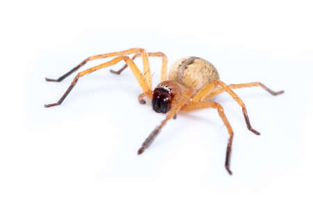 Photo pour Image of Huntsman spider (Olios sp.) is a family of Sparassidae on white background. Insect. Animal. - image libre de droit