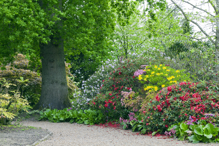 Photo pour Colourful rhododendrons, azaleas in bloom on a walking path by an oak tree, in a spring lush garden . - image libre de droit