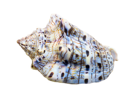 Shell of Voluta Musica or Music Volute is a species of sea snail, marine gastropod mollusk in the family Volutidae isolated on white background with clipping paths