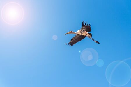 Photo pour Painted Stork or Mycteria Leucocephala, Single big bird flying alone in the bright blue sky, Beautiful wildlife in nature add lens flare effect to sun and sunlight, copy space for background - image libre de droit