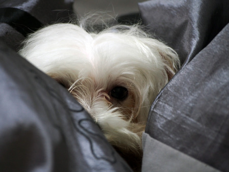 maltese try to hiding