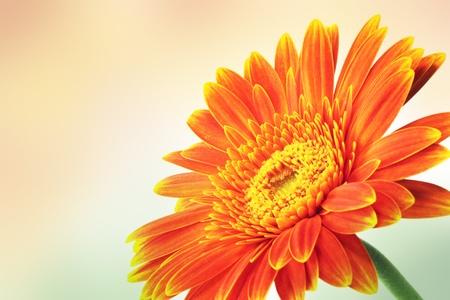 Gerbera. Orange flower.
