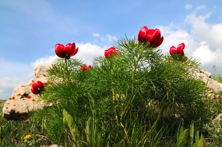 Photo pour Summer landscape, hills and meadow with green grass strewn with red poppy flowers and dandelions - image libre de droit